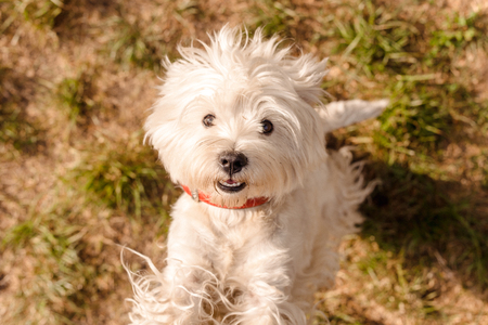 west highland white terrier stands on its hind legs and looks at the camera Stockfoto