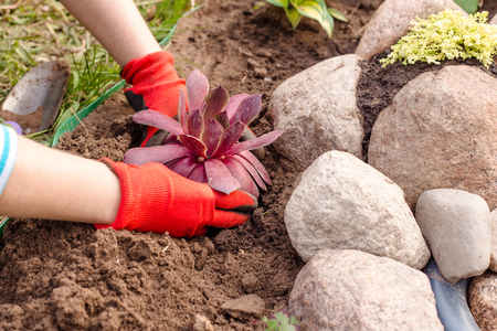 womens hands with gloves planted flower in the rock garden Stockfoto