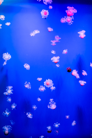 polyps: Spotted jellyfishes. Phyllorhiza punctata is a species of jellyfish.