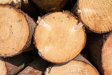 timber cutting: Logs crosscuts on the timber cutting in the forest
