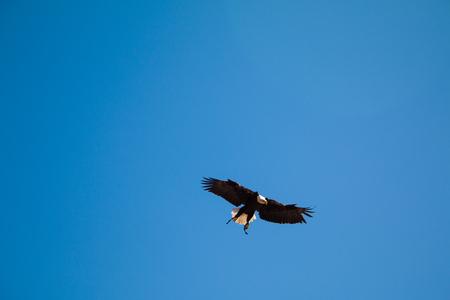 american bald eagle in flight against blue sky of alaska
