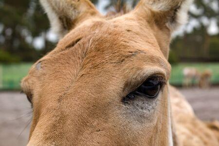 Turkmenian kulan Equus hemionus kulan , kulans eye Imagens