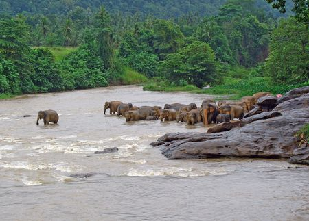 A herd of Elephants standing close to each other in the river, drinking and playing with water in reserve sri lanka.