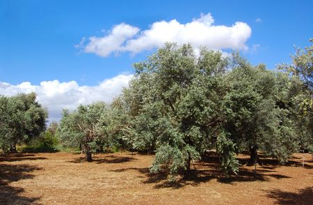 Trees of olives on Cyprus Stock Photo