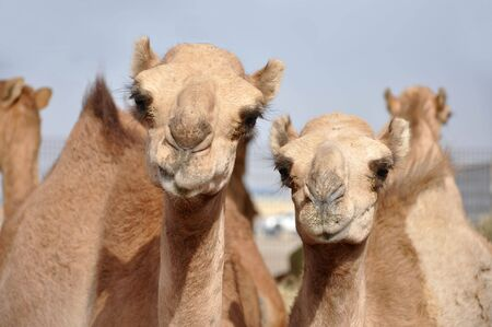 single hump dromedary Camels. The camel market in Al Ain
