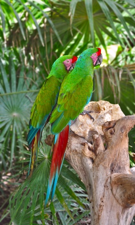 The Great Green Macaw, Ara ambiguus, also known as Buffon photo