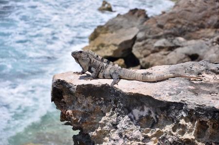 catchlight: Iguana on the rocks. Mexico, Isla Mujeres