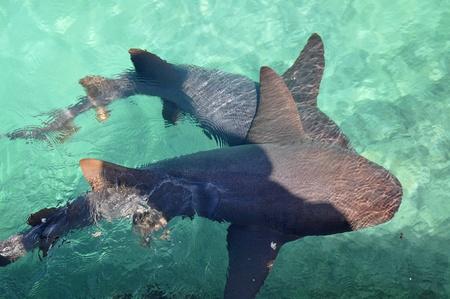 cartilaginous: Nurse Shark swimming in caribbean sea. Mexico, xcaret
