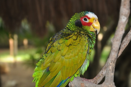 White-fronted Amazon, Amazona albifrons, also known as the White-fronted Parrot photo