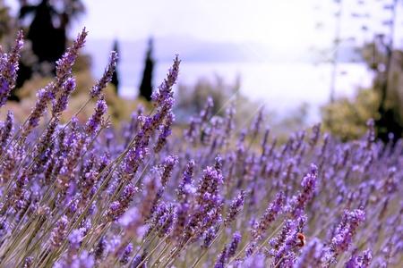 Lavender and sea