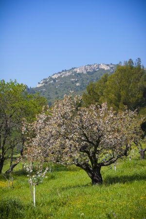 Blooming tree with mountains  Stock Photo