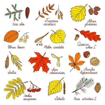 Autumn leaves and tree seeds. Leaves and seeds of maple, birch, oak, pine and other trees. Botanical illustrations drawn by hand in the style of a sketch.