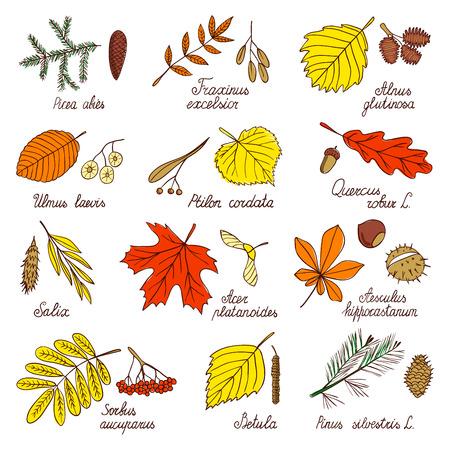 Hojas de otoño y semillas de árboles. Hojas y semillas de arce, abedul, roble, pino y otros árboles. Ilustraciones botánicas dibujadas a mano al estilo de un boceto.