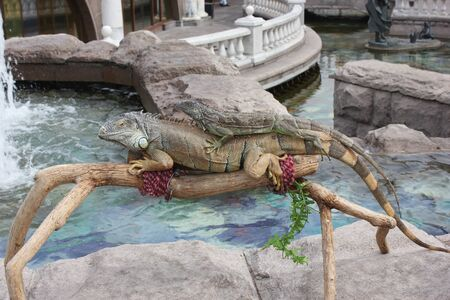 exotics: Two iguanas on the background of the water pool in the center of Moscow