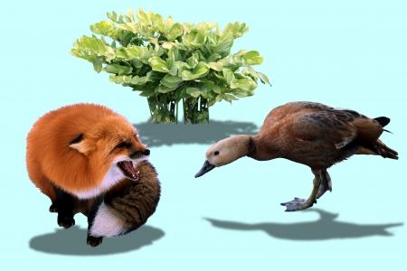attacking: pato rojo intenso atacar a un zorro rojo