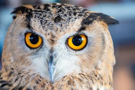Beautiful Owl close up. Owl eyes. Background.