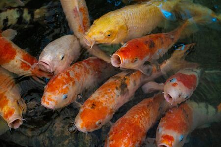 Colourful Koi carp. Colourful and vivid Koi carp swimming around in a pond in Thailand