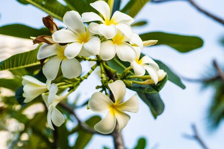 Tropical flower frangipani plumeria, Leelawadee grows on a tree.