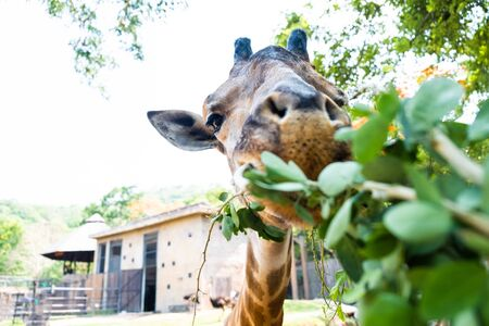 Cute Giraffe making sceptical faces while chewing food. The concept of animals in the zoo.
