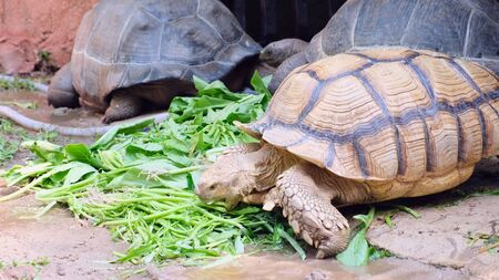 Galapagos tortoise. Big turtle. The concept of animals in the zoo.