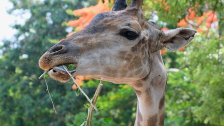 Cute Giraffe. The concept of animals in the zoo.