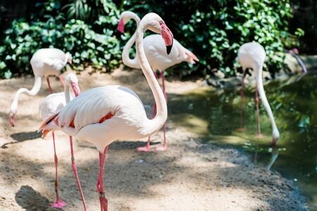 Pink flamingos on the lake. The concept of animals at the zoo in Thailand.