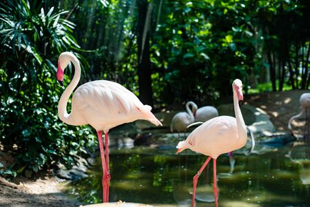 Pink flamingos on the lake. The concept of animals at the zoo in Thailand. Zdjęcie Seryjne - 129207453