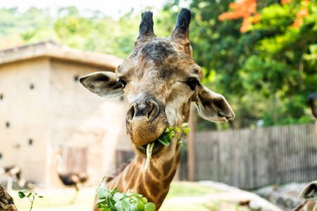 Giraffe. Making a funny face as he chews. The concept of animals in the zoo