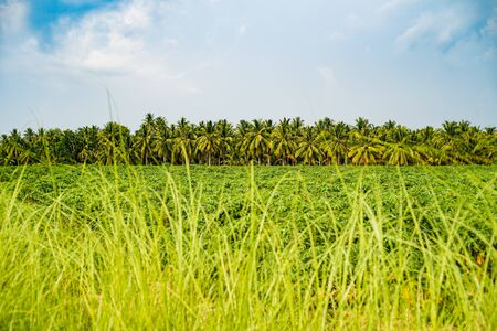 Palm grove. Tropical country. Landscape. mountain islands on the background. Stock Photo