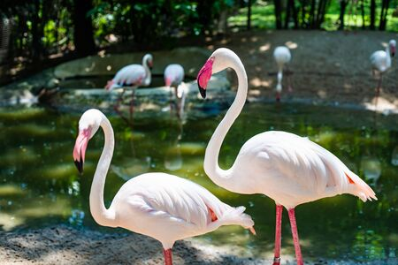 Pink flamingos on the lake. The concept of animals at the zoo. Zdjęcie Seryjne