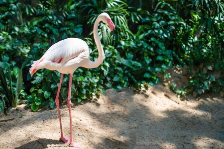 Pink flamingos on the lake. The concept of animals at the zoo. Stok Fotoğraf