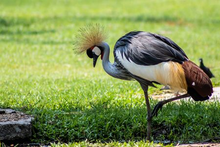 Crowned Crane with its yellow fluffy tuft. In the park in nature. Zoo animals concept