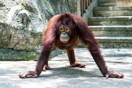 Sumatran orangutan. Funny orangutan. Zoo animals concept. Banque d'images