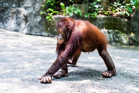 Sumatran orangutan. Orangutan walks. Zoo animals concept.