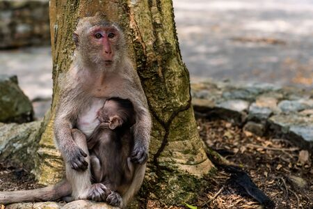 Baby monkey eating milk from the mother. A family of monkeys. The concept of animals at the zoo in Thailand. Stock fotó