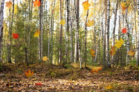 walk through the woods. Pleasant autumn weather. The suns rays play in the branches of trees. Mysterious spruce forest. Falling Autumn Leaves Background Stok Fotoğraf