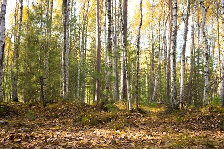 walk through the woods. Pleasant autumn weather. The suns rays play in the branches of trees. Mysterious spruce forest.