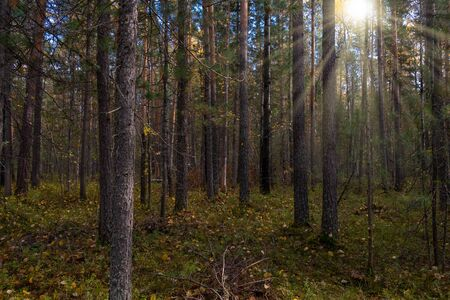 Autumn forest landscape with rays of warm light illuminating the spruce forest