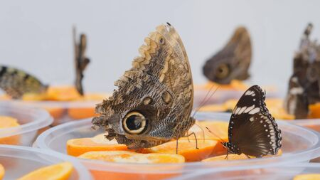 brown large butterflies drinks nectar on citrus fruits. Butterfly on oranges. close-up