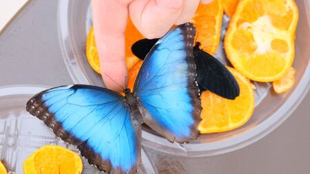 Big blue butterfly sits on a male hand. close-up
