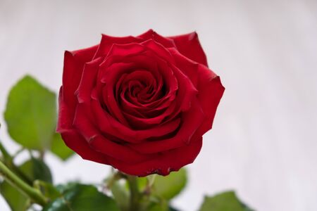 One red rose. copy space - Valentines and 8 March Mother Women's Day concept.