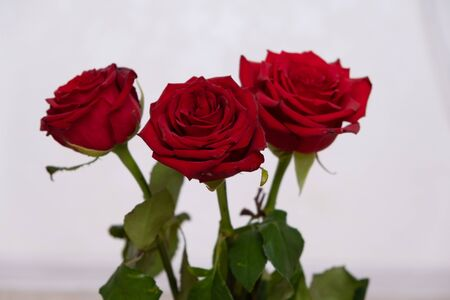Three Red Roses with boke Background. copy space - Valentines and 8 March Mother Womens Day concept. Imagens