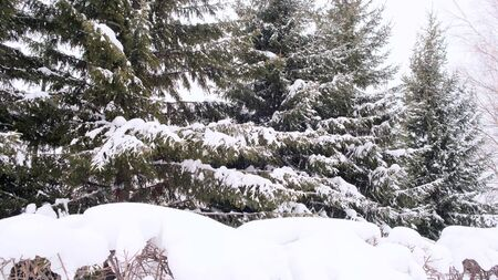 Falling snow. Branch of spruce tree with white snow. Winter spruce tree in the frost. Layer of snow on branches of spruce with hoar-frost. Imagens