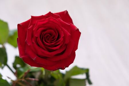 One red rose on a light background. copy space - Valentines and 8 March Mother Womens Day concept.