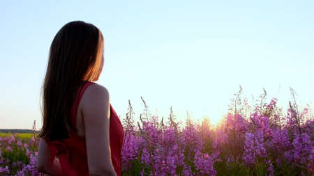 View back of young brunette woman walks along pink field among florets of willow tea, she touch flowers blooming sally.Girl in tall stems of fireweed on bright sunny evening at sunset Imagens