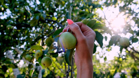 female hand picks a fresh natural apple on a tree branch in the sunlight. selective focus.