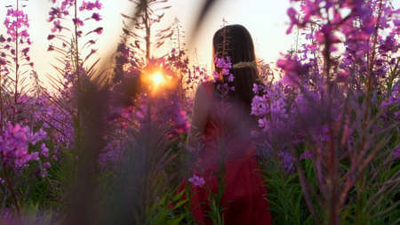 View back of young brunette woman walks along pink field among florets of willow tea, she touch flowers blooming sally.Girl in tall stems of fireweed on bright sunny evening at sunset. selective focus