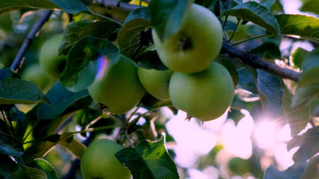 Fresh natural apple on a tree branch in sunlight. selective focus.