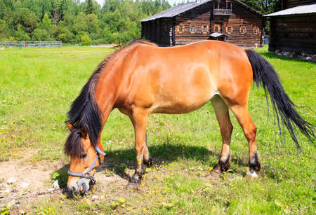 buckskin horse: buckskin horse. Buckskin horse grazes on the chain on the lawn in the village