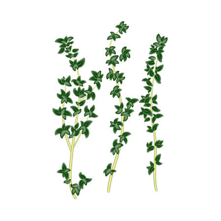 Fresh green sprigs of thyme, savory on white background. For use as logos on cards, in printing, posters, invitations, web design and other purposes. Vettoriali